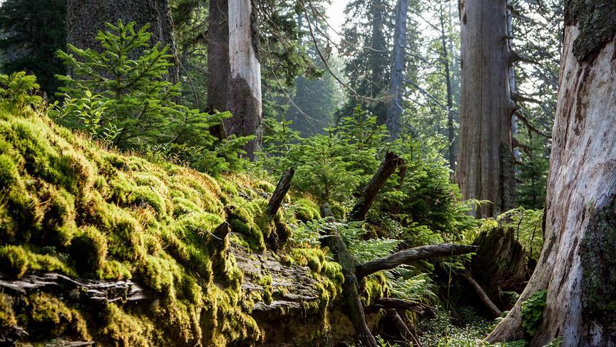 """""""Universum: Zurück zum Urwald - Nationalpark Kalkalpen"""": Kadaververgüngung"""